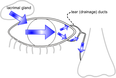 tear flow from lacrimal gland