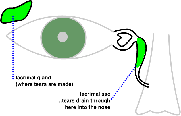 the lacrimal gland, where tears are made, and the lacrimal sac, where the tears drain out of the eye